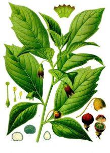 Scopolia_carniolica_-_Köhler–s_Medizinal-Pflanzen-263