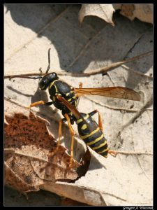 vespidae